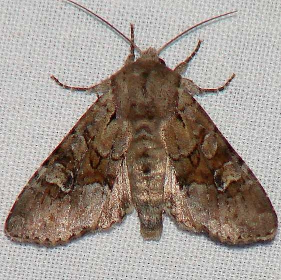 9364 Bordered Apamea Moth Indian Pt Park Lake Co 6-12-09