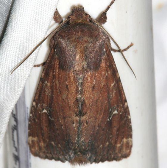 9365 Apamea scoparia BG Rocky Mountain Natl Pk Colorado 6-22-17 (31)_opt
