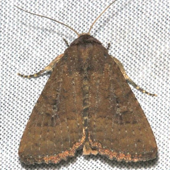 9367 Doubtful Apamea Moth Mahogany Hammock Everglades Natl Pk 3-10-13