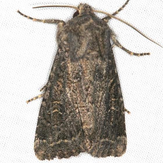 9382 Glassy Cutworm Moth Mesa Verde BG National Pk Colorado 6-9-17 (61)_opt