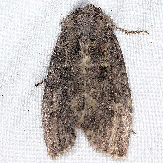 9382 Glassy Cutworm Moth yard 8-31-14_opt