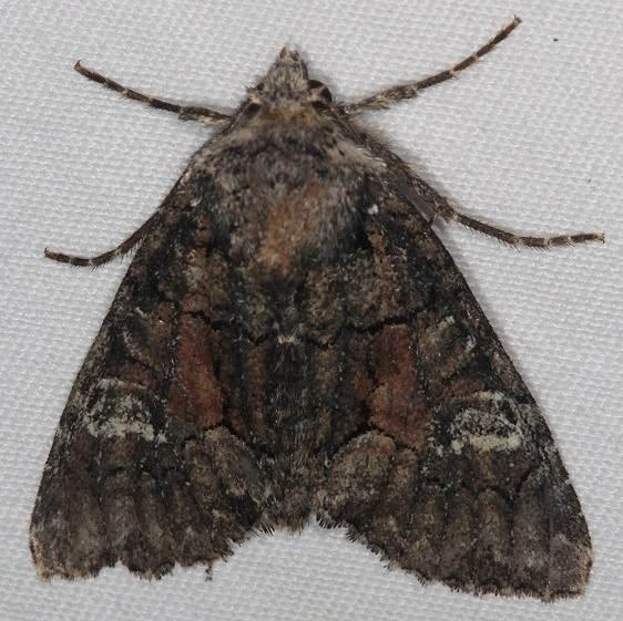 9420 Wandering Brocade Moth Thunder Lake UP Mich 9-25-15