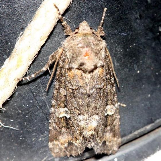 9420 Wandering Brocade Moth Thunder Lake UP Mich 6-25-12