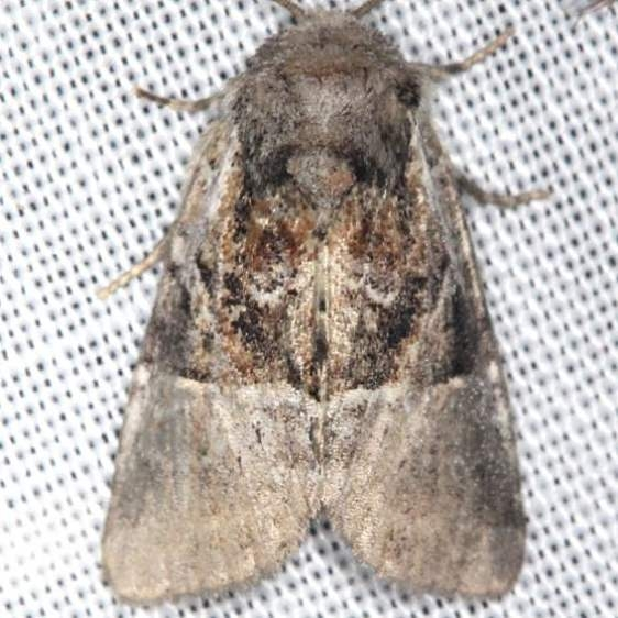 9427 Multicolored Sedgeminer Moth yard 8-11-13 (7)_opt