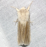 9447.2 Large Wainscot Moth yard 4-1-12