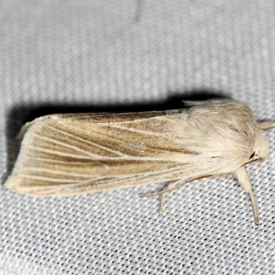 9447.2 Large Wainscot Moth yard 4-1-12