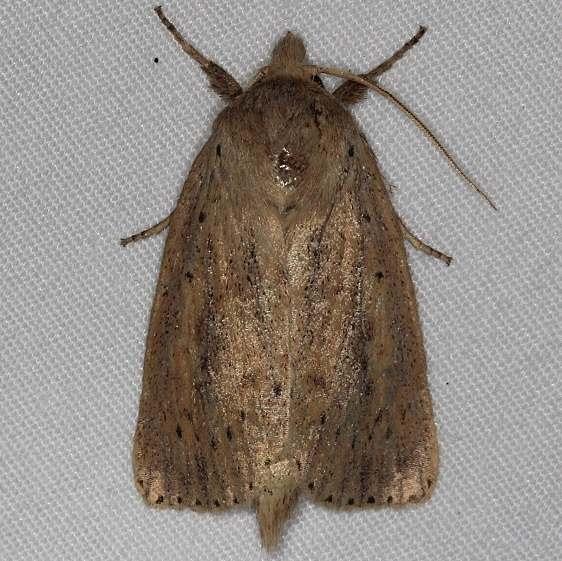 9449 Oblong Sedge Borer Moth yard 8-23-14