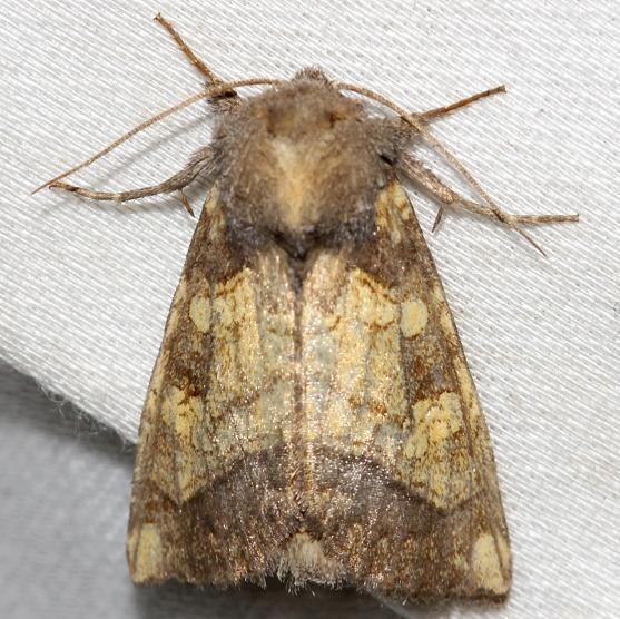 9466 Burdock Borer Moth yard 10-23-12