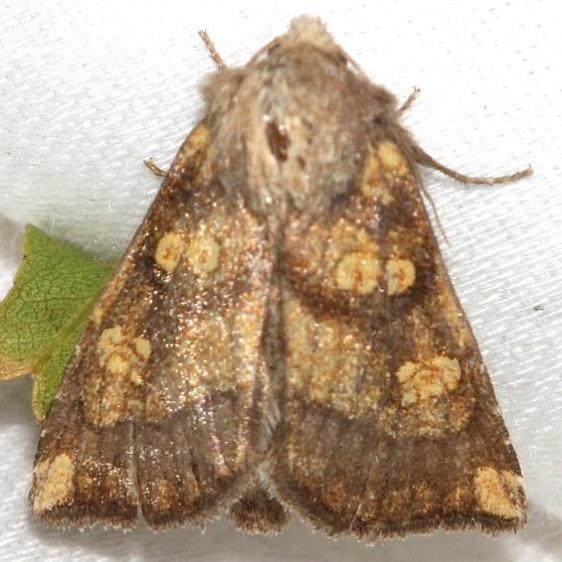 9473 Aster Borer Moth yard 10-23-12