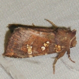 9480-Brachen-Borer-Moth-Thunder-Lake-UP-Mich-10-3-11