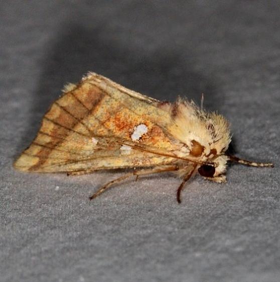 9480 Brachen Borer Moth Thunder Lake UP Mich 9-27-15