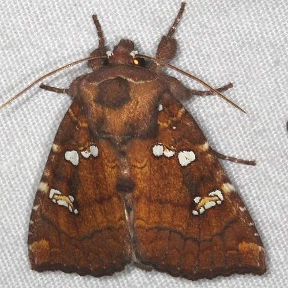 9485 Indigo Stem Borer Moth Huffman Prairie WPAFB Dayton Oh 7-27-14