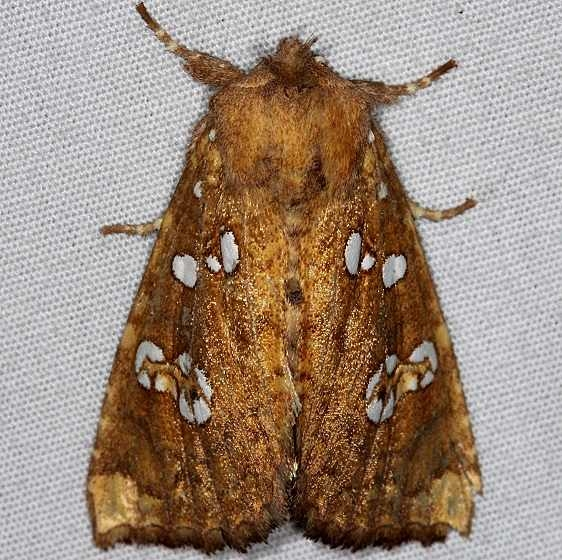 9495 Ash Tip Borer Moth yard 9-18-14