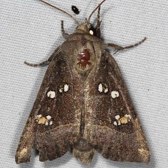 9496 Stalk Borer Moth yard 9-8-15