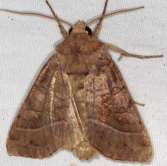 9513 Hop Vine Borer Moth yard 8-18-16