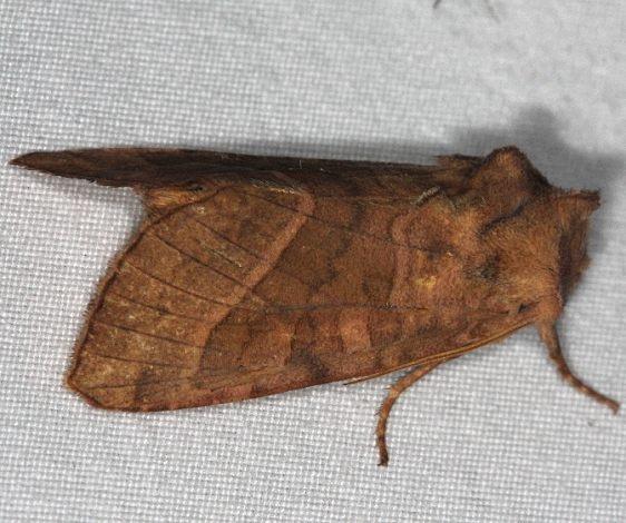9513 Hydraecia immanis Huffman Prairie WPAFB Dayton Oh 7-27-14
