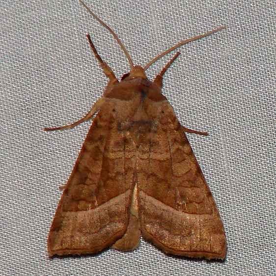 9513 Hydraecia immanis yard 8-7-09