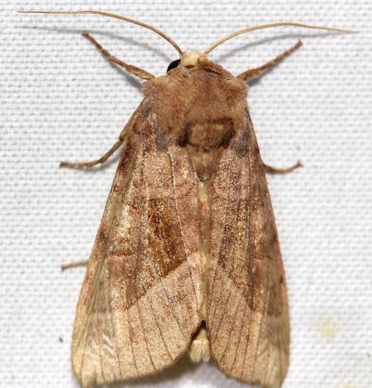 9514 Rosy Rustic Moth yard 8-2-12