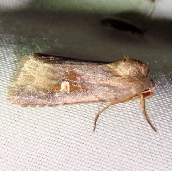 9522 White-eyed Borer Moth Kissimmee Lake St Pk 2-24-12