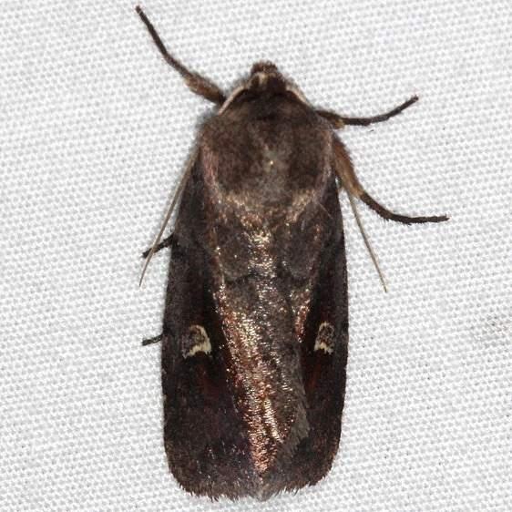 9522 White-eyed Borer Moth Oscar Scherer St Pk 3-12-15