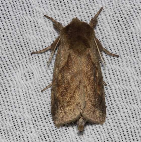 9523 White-tailed Diver Moth Kissimmee Prairie St Pk 3-16-13_opt