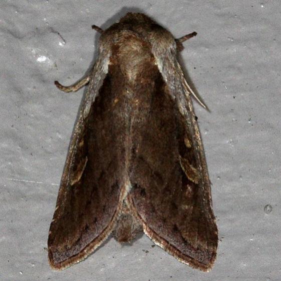 9525 Cattail Borer Moth Favre-Dykes St Pk Fl 2-21-15