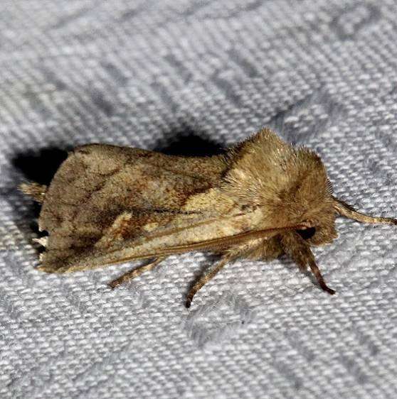 9525 Cattail Borer Moth Kissimmee Prairie St Pk 3-17-13
