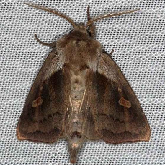 9526 Pickerelweed Borer Moth Tosohatchee WMA Florida 2-11-14