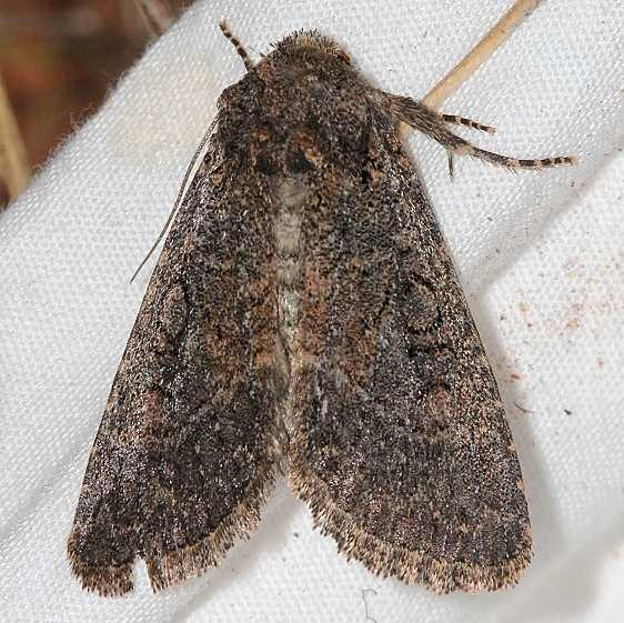 9527 Aseptis fumosa Colorado National Monument 6-17-17 (61)_opt