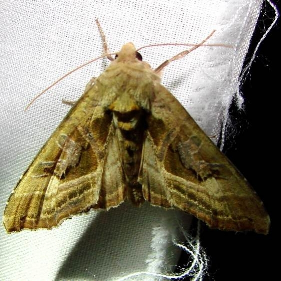 9547 Phologophora periculosa Thunder Lake Mich 6-17-10
