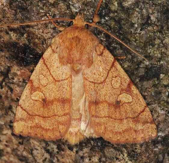 9549 Pale Enargia Moth Lake of the Woods Ontario 7-28-16 (6a)_opt