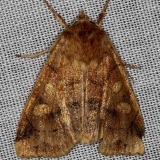 9549 Pale Enargia Moth Thunder Lake 9-26-13
