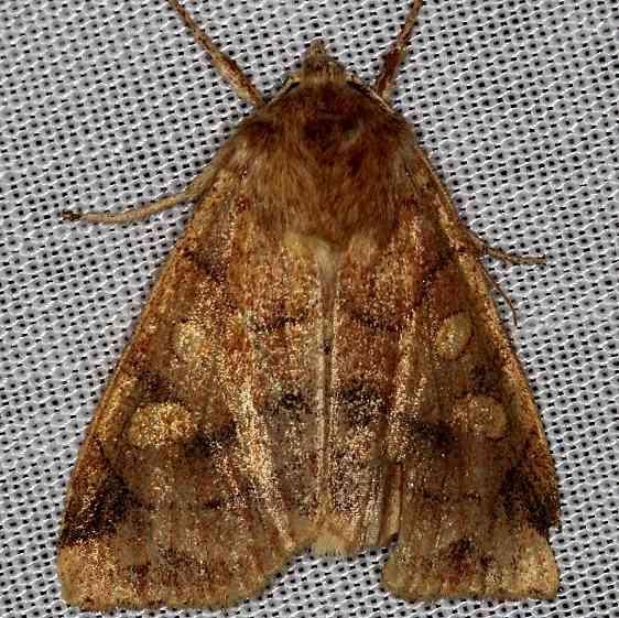9549 Pale Enargia Moth Thunder Lake 9-26-13