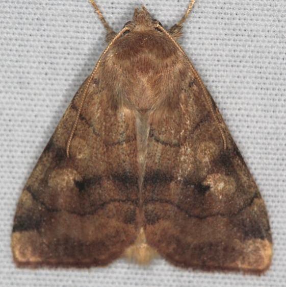 9550 Smoked Sallow Moth Ash Rapids Lodge Lake of the Woods Ont 7-21-17 (40)_opt