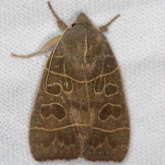 9555 Even-lined Sallow Moth Copperhead firetower Shawnee St Pk 8-6-16 (151a)_opt