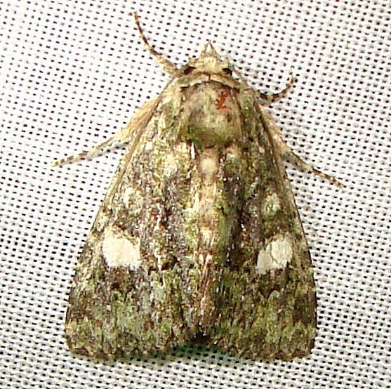 9556 Cloaked Marvel Moth Payne's Prairie St Pk 3-22-12