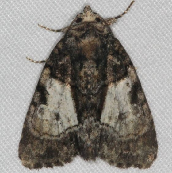 9556 Cloaked Marvel Moth Thunder Lake UP Mich 6-20-15