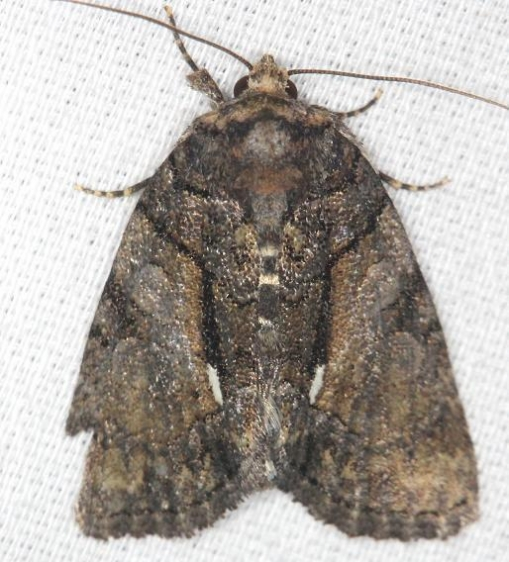 9556 Cloaked Marvel Moth yard 5-27-13