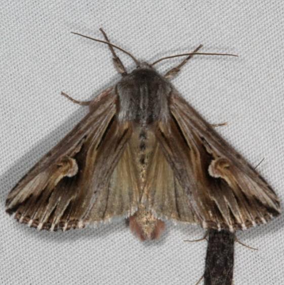 9582 Gray Half-spot Moth Thunder Lake UP Mich 6-24-15