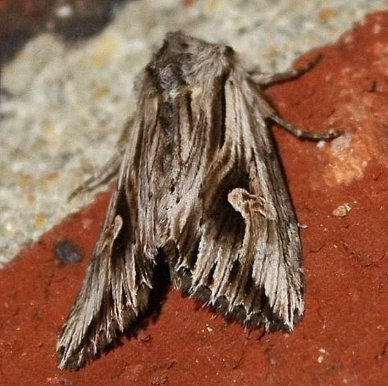 9582 Gray Half-spot Moth yard 9-19-09