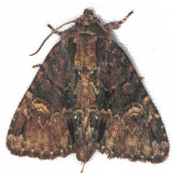 9618 Turbulent Phosphila Moth Turkey Lake Shawnee St Pk 6-12-15