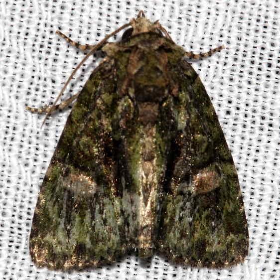 9619 Spotted Phosphilia Moth Kissimmee Prairie St Pk 3-16-13