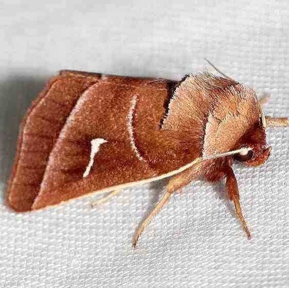 9629 Marsh Fern Moth Lake Kissimmee St Pk Fl 2-26-13
