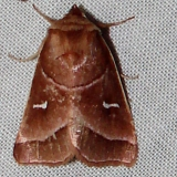 9629-Marsh-Fern-Moth-William-Beardall-WMA-Fla-3-8-11