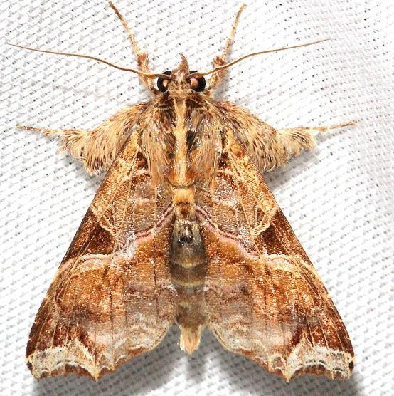 9630 Florida Fern Moth Hidden Lake Everglades Natl Pk 3-9-13