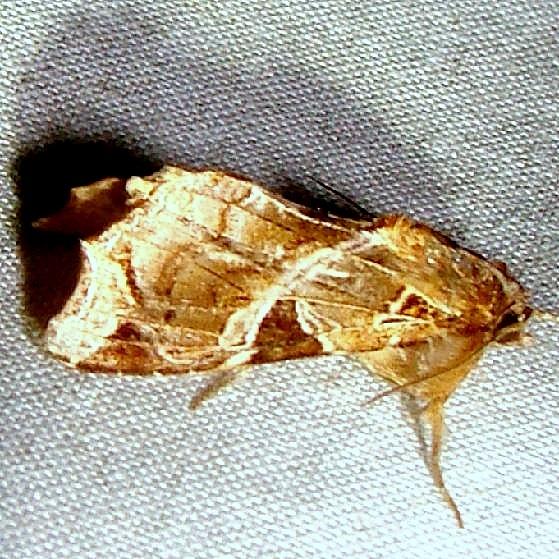 9630 Florida Fern Moth Mahogany Hammock Everglades 2-27-12