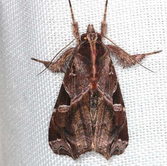 9630 Florida Fern Moth Mahogony Hammock 2-18-14