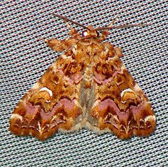 9631 Pink Shaded Fern Moth Walden II Lake Co 6-13-09