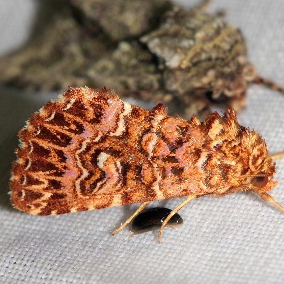 9632 Granitose Fern Moth Lake Kissimmee St Pk Fl 2-26-13