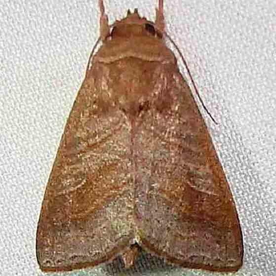 9634 Phuphena tura Mahogany Hammock Everglades 2-27-12